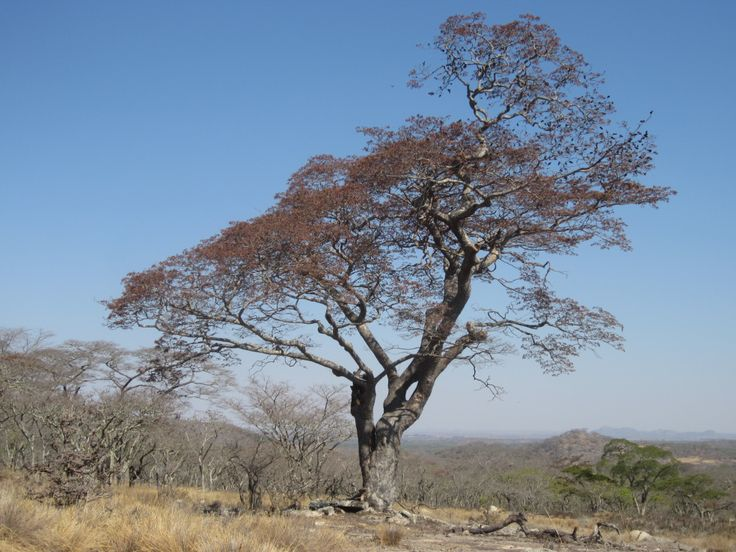 The Mnondo tree is a medium-sized tree. In the northern half of its range, it is generally 15-16 meters high but can grow up to 18 meters. It is deciduous but may not lose all of its leaves before producing new ones.