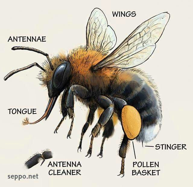 232 best bee line drawing images on Pinterest | Bees ...
