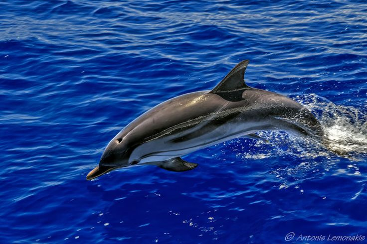 Free wild dolphins playing by Antonis Lemonakis on 500px