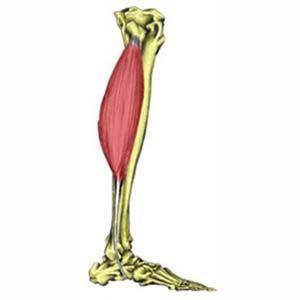 Peroneus Longus Muscle