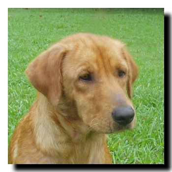 This is Wren - 5 yrs. She is an owner surrender after a family member became allergic to her. She is spayed, current on vaccinations, gets along with other dogs, cats & kids & potty trained. She does not like to be crated. She needs to lose a few lbs. Wren is in the early stages of renal failure & requires prescription food. She is being monitored & is not available yet. Wren is at Dallas Fort Worth Metro Golden Retriever Rescue.