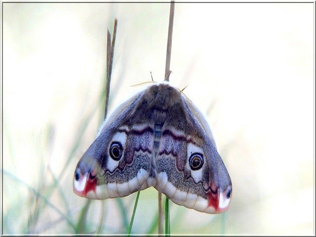 Papillon Pavonia pavonia (Le petit paon de nuit)