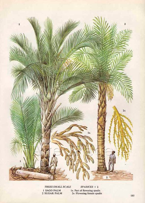 Vintage botánico del árbol Art Print, alimentos planta gráfico, Ilustración, serie de decoración de cocina, azúcar cultivos, azúcar de Palma, Palma de sagú