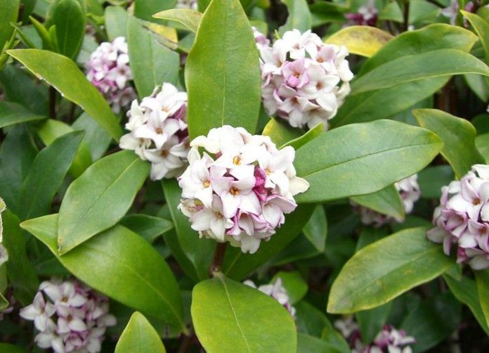 Best Shrubs That Bloom All Year In 2020 Shade Shrubs Daphne Plant