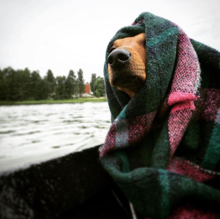 They call me Captain Urho. #dachshund #dachshundlife #mäyräkoira #dachshundoftheday #finnishsummer #boatingseason2017 #midsummer2017 #itcouldbewarmer #keepingwarm #outthere #boatingadventures Thanks for a Great day @anu.mahlamaki @m_anttila!