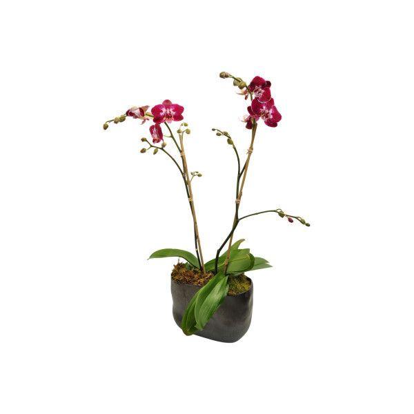 Orchid Purple Haze