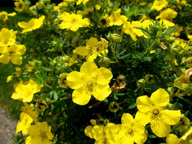 9 best images about potentilla bushes on pinterest plant for Low growing flowering shrubs