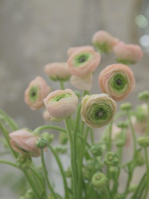 .: Pink Flower, Ranunculus, Sweet, Persian Buttercup, Color, Pale Pink, Beautiful, Plants, Green Flower