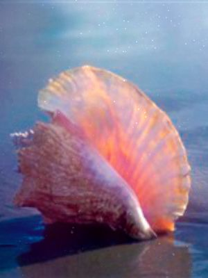I love the queen conch shell ~ my favorite                                                                                                                                                                                 More