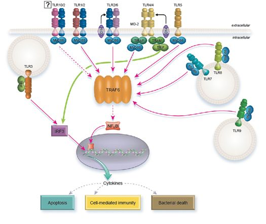 Toll-like Receptor (TLR) signaling pathway