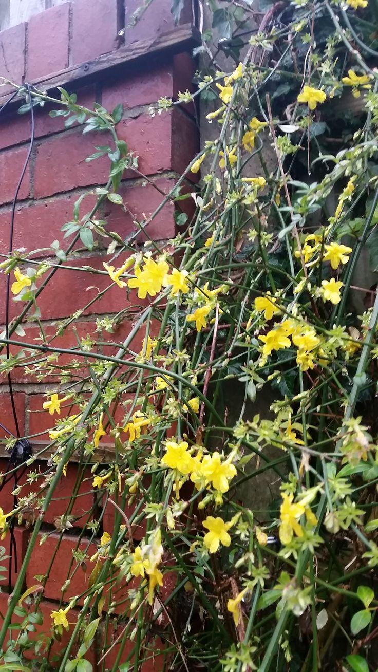 Cheerful yellow Jasmine flowers in mild periods all through the UK winter.