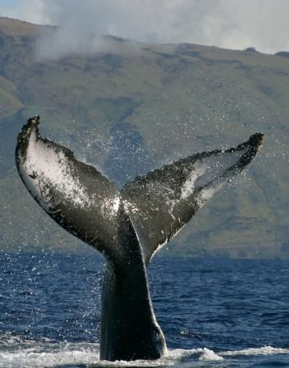 """Hawaii humpback whale sanctuary's annual """"Ocean Count"""" to get under way this month 