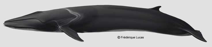 Fin whale (Balaenoptera physalus) by namu-the-orca on DeviantArt