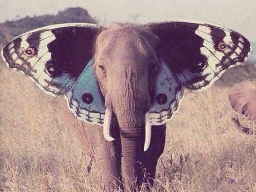 Butterfly elephant ears?