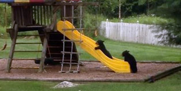 Imagine coming home to find out bears took over your backyard. Sounds scary, right? But what if they were catching a ride on the slide of your backyard playground set? Definitely less scary.