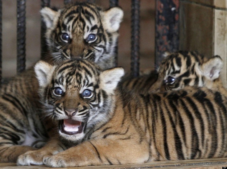 aww i want these too!!! one month old Sumatran tigers, Danny, Denar, and Diana! So adorable