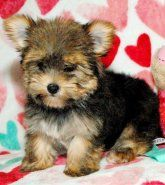 Yorkshire Terrier | Puppies for Sale