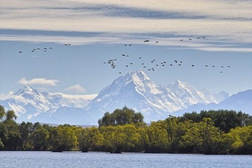 Geese Over Mt Cook - Lake Benmore  Tekapo, New Zealand