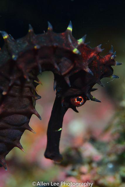 Thorny Seahorse by Allen Lee via Natures Doorways