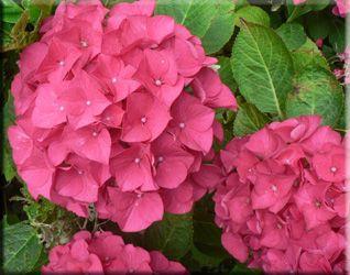 Гортензия крупнолистная, или садовая (Hydrangea macrophylla)