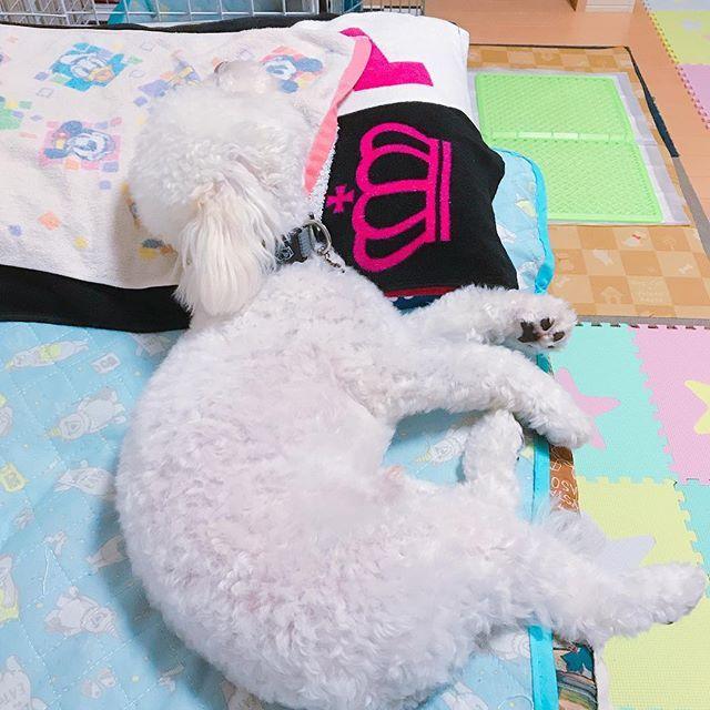 、 、 おやすみなさ~い☺🌙💤 、 、 #マルチーズ #プードル #トイプードル #マルプー #ミックス犬 #mix犬 #ロコ #Roco #ROCO #ろこ #ロコだいすき #いぬすたぐらむ #犬大好き #犬 #わんこ #愛犬 #動物だいすき #まるぷー #ワンコのいる暮らし  #ワンコとの生活 #dogstagram  #うちのワンコ #pecoいぬ部 #わんぱく部 #ペコいぬ部代表ワン #pecon #dogstagram_japan #qpetいぬ部#qpetdog @qpet_photo