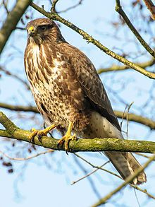 The Common Buzzard (Buteo buteo) is a medium to large bird of prey, whose range covers most of Europe and extends into Asia.