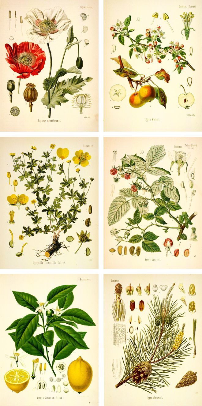 Botanical Drawings | free botanical prints                                                                                                                                                     More