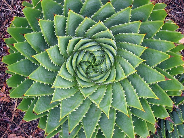 A fibonacci spiral in a cactus!! - I've seen one of these in person in Bodega Bay, CA - VERY COOL!