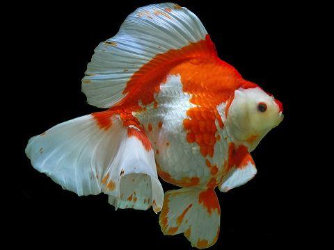 139 best ryukin goldfish images on pinterest fish for Pesce oranda