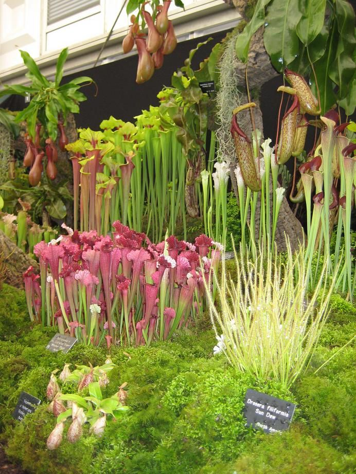 Beautiful carnivorous plants. I want a garden like this.