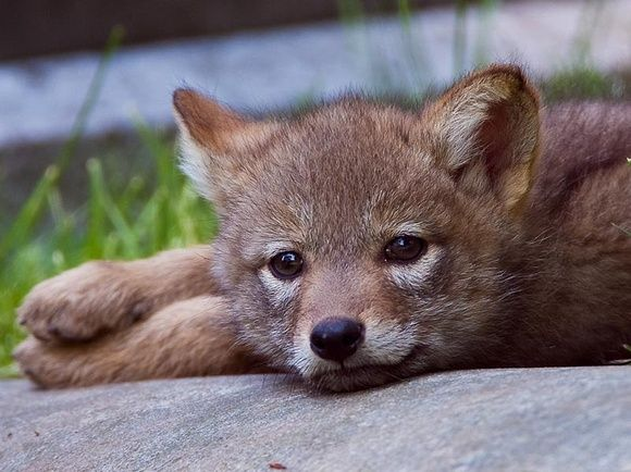baby coyote | Lachlan | Pinterest
