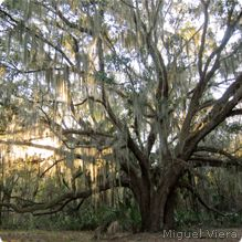 Crowns of the largest southern live oaks reach diameters of 150 feet - nearly half a football field! #wildlifeweek