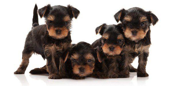 Tipos De Perros Pequeños Que No Crecen. Tipos de perros pequeños que no crecen: Hay una gran cantidad de perros y todos ellos son muy especiales para tenerlos en casa, es por ello que debes tener mucha responsabilidad a tener uno en casa. Pero lo más importante es si es que quieres tener un canino en casa, recuerda que a muchos no les gustan mucho los perros muy grandes y es por ello que en este espacio te daremos a conocer todos.... Tipos De Perros Pequeños Que No Crecen. Para ver el…