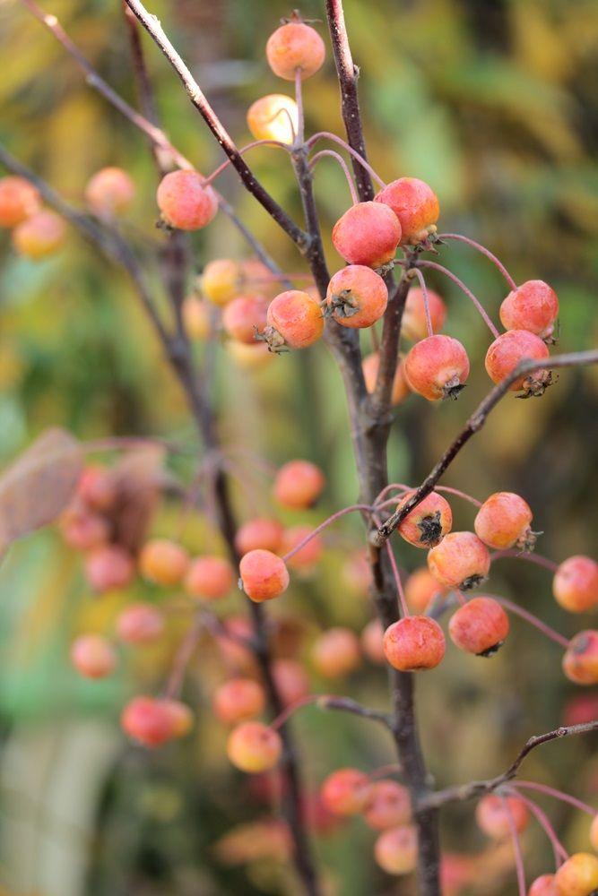 Zierapfel Malus Everest Seasons Autumn Garden Plants Seasons