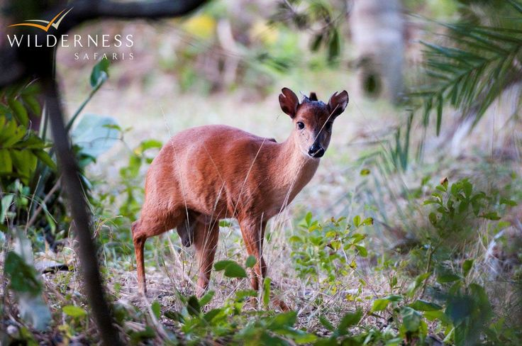 Red duiker occur in the forest around Rocktail Beach Camp, the only one of our camps where you'll find these diminutive antelope  http://www.wilderness-safaris.com/south_africa_maputaland/rocktail_beach_camp/introduction/  #antelope #rarity #maputaland