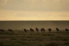 Passage To Africa - Amboseli - Kenya #Landscape #Wildebeast