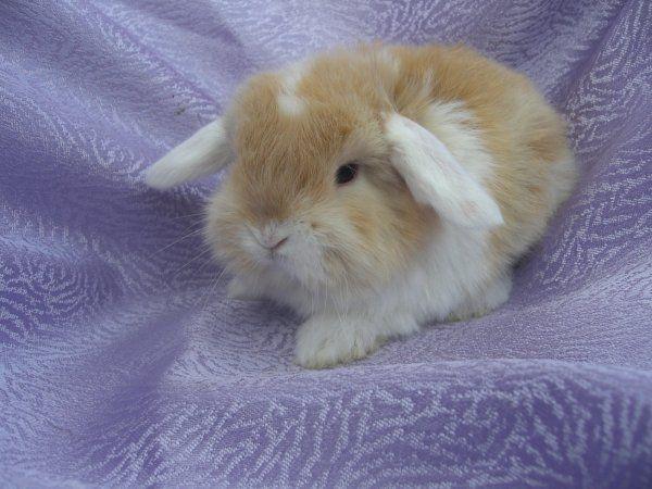 Kaninchenzucht vom Goldenen Vlies