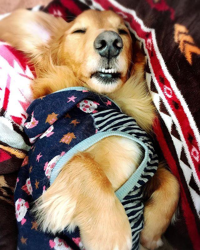 ・ ・ りーくん 寝顔がちょっぴり 怖いです…😭 ・ ・ #dachshund  #dachs  #dog #dogstagram  #dog_staglum  #doglife  #lovemydog  #愛犬 #ミニチュアダックス ・ ・ #愛しのりーくんの #寝顔が #何度も見ても #おっさんに見える (´・ω・`) #そして #短い前歯 #あそこから👅 #いつも出てる(´・ω・`) #りーくん #早く目覚めてと #願うママ ・ ・ 朝から 大人しいな。と 覗きに行くと  おっさん なってた…笑 ・ 爆睡中にて 起こせないから 盗撮…📸 至近距離なのに  全く  起きない。おつかれなのね😑