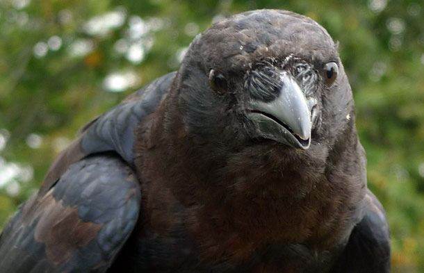 "American Crow in Ontario, Canada.  Photo by J.P. Moczulski © 2009 A Murder of Crows, Inc. (this was found on the Nature site and has a link to ""Crow Facts""...very interesting) http://www.pbs.org/wnet/nature/episodes/a-murder-of-crows/crow-facts/5965/#"