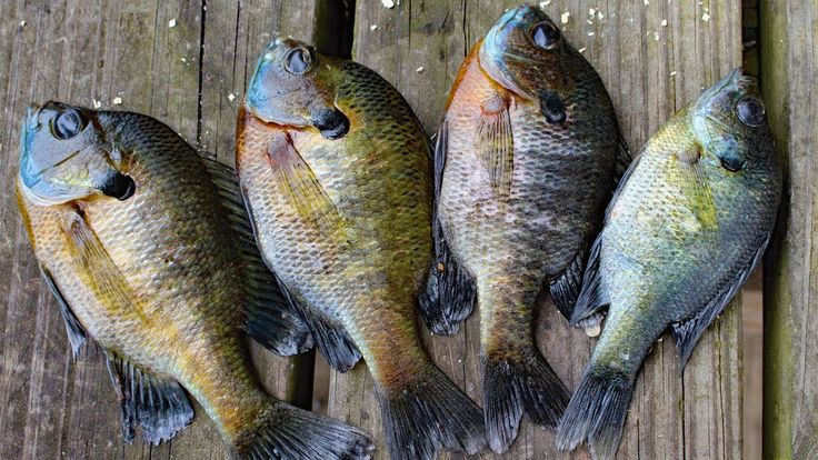 how to cook bluegill over a fire