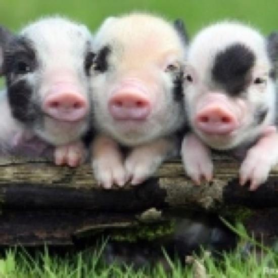 Cute Baby Pig Wallpaper The 3 Little Pigs Animal Beauty Pinterest Animal