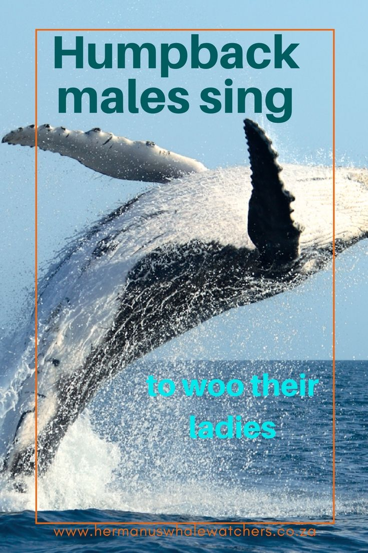 The male humpback only sings during mating periods and is believed by some to use its mating songs to communicate fitness, youth, vitality and a desire to mate with female whales.