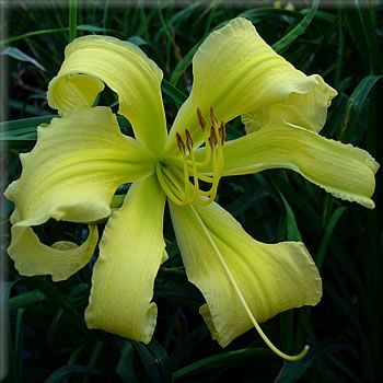 Day Lily  Spider Miracle $7