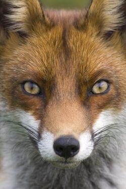 Vos Foto: Ruben Smit | Fox eyes, Pet fox, Red fox
