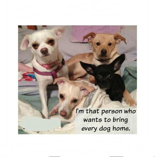 Chihuahua Chihuahuas Chiwawa Puppies Puppy Dog Dogs Animal