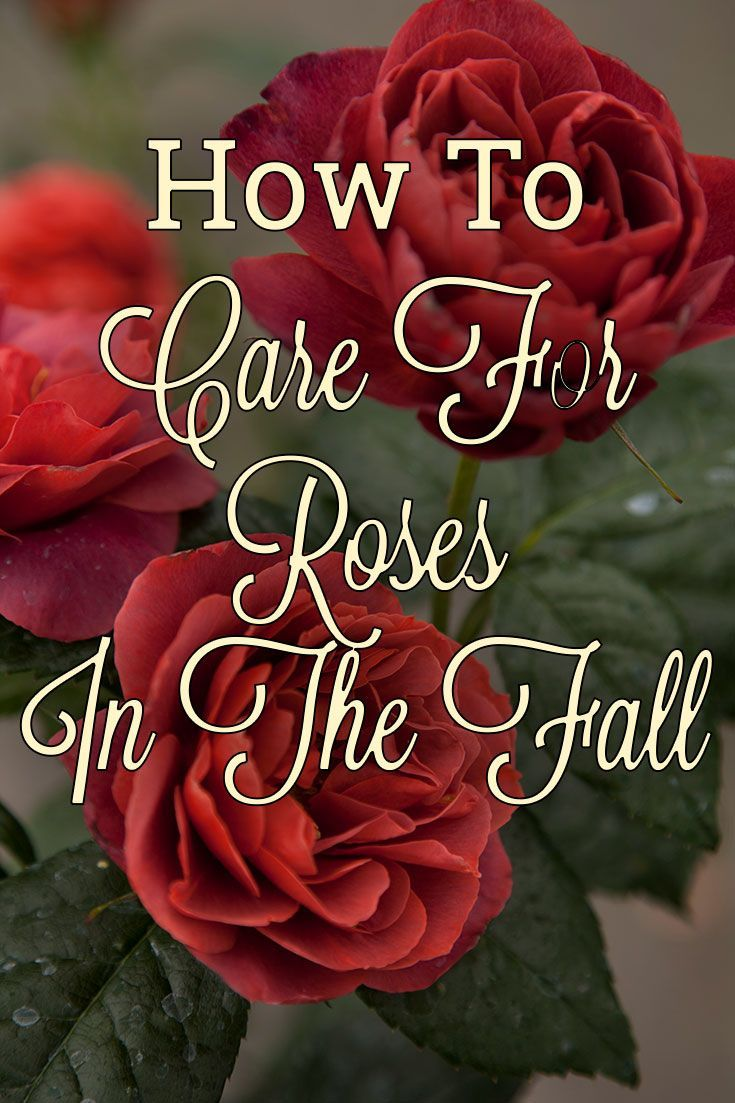 Learn everything you need to know about caring for your roses this fall.