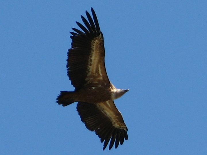 Un Buitre Leonado sobrevolando Villarreal de San Carlos el día de la celebración de la FIO 2013 (Feria Internacional de la Ornitología)