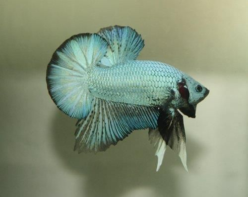 17 best images about plakat marble tiger koi betta on for Betta fish friends