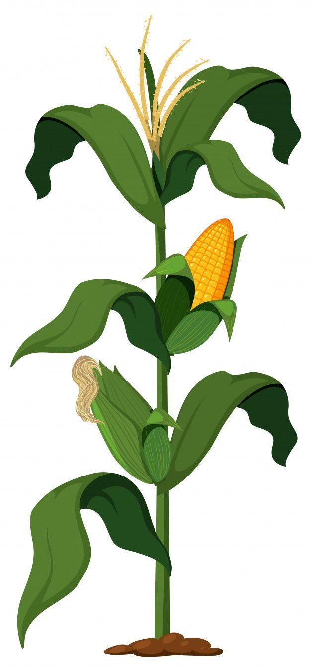 Planta De Maiz En El Fondo Blanco Vector Premium Planta De Maiz Maiz Dibujo Plantas
