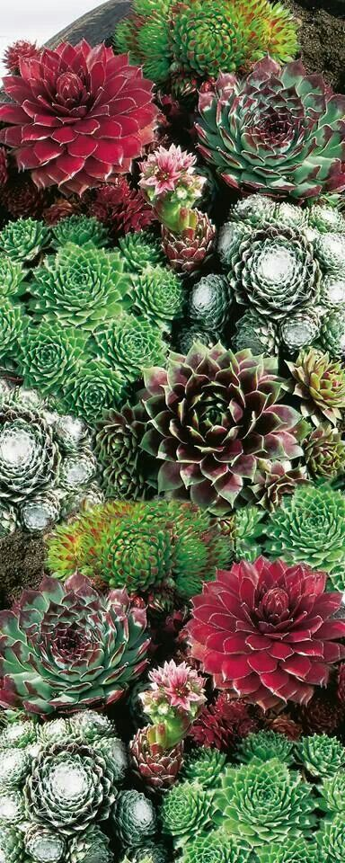 I love the variety of color, pattern, & texture that hens & chicks provides.
